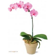 """Горшечное растение  """"Орхидея"""""""